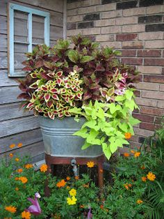 Old washtub planted with two types of coleus and bright green potato vine spilling down the side.