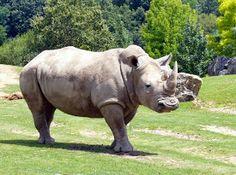 L'un des 4500 animaux du ZooParc de Beauval, le rhinocéros - ©ADT41-A.Carnat