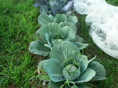 Growing Cabbage - Everything you need to know. Vegetable Garden Fertilizer, Planting Vegetables, Organic Vegetables, Growing Vegetables, Growing Cabbage, Red Cabbage With Apples, Raised Garden Beds, Raised Bed, Succession Planting