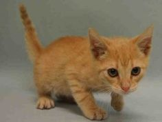O/S KITTEN SAYS IS TOO ACTIVE MANHATTAN CENTER  MAT – A1072418  MALE, ORG TABBY / WHITE, DOMESTIC SH MIX,3 mos OWNER SUR – WAITING4PU, NO HOLD Reason TOO ACTIVE Intake condition EXAM REQ Intake Date 05/03/2016, From NY 10034, DueOut Date 05/03/2016,  Medical Behavior Evaluation GREEN Medical Summary SCAN NEGATIVE BRIGHT ALERT RESPONSIVE HYDRATED PHYSICAL EXAM- INTACT MALE. APPETITE GOOD. EYES, EARS, BODY COAT- WNL AMB X 4 APPLIED ACTIVYL. ADMINISTERED 0.3 CC PONAZURIL PO, 0.6 CC PANACUR PO…