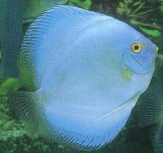 Blue diamond Discus Fish ~ My Blue Diamond is very young & looks similar to this.