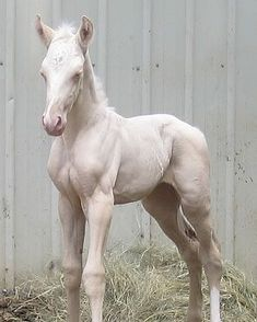 Pink skin, white mane and tail. My foal, chief thunderhead and this guy looked just alike. All The Pretty Horses, Beautiful Horses, Animals Beautiful, Cute Baby Animals, Animals And Pets, Baby Horses, Majestic Horse, Clydesdale, Tier Fotos