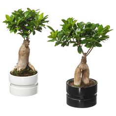 IKEA - FICUS MICROCARPA GINSENG, Potted plant with pot, bonsai, assorted colours, Native to South East Africa. This plant is sensitive to temperature changes. This may be the cause if the leaves start to fall off. Bonsai Ficus, Bonsai Plants, Bonsai Garden, Ginseng Plant, Planting Succulents, Potted Plants, Cactus Plants, Planting Flowers, Ficus
