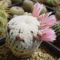 Mammillaria_pectinifera_