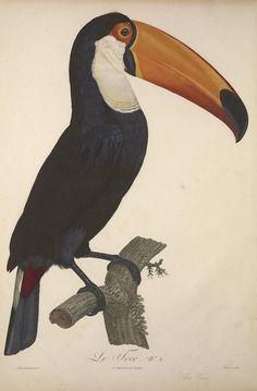 Toucans | 1806, volume 2 - Histoire naturelle des oiseaux de paradis et des rolliers : - Biodiversity Heritage Library
