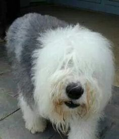 Bentley.. Old English Sheepdog puppy or rescue please call or text 214-448-2888 .... texassheepdogpup@gmail.com....Akc Export for Britz Royal Croft family