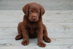 Right here this is my favorite lab. Brown fur with blue eyes