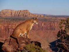 Il Puma concolor , chiamato anche coguaro o leone di montagna, è un