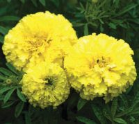 Marigold. Key Lime 25 seeds £1.85