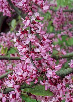 Cercis siliquastrum (Judas tree)