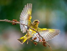 Henderson Liverpool, Greenfinch, Canary Birds, Colorful Birds, Nature, Animals, Feathers, Art Ideas, Twitter