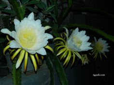 dragon fruit flower stages 6