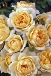 Rose (Patio) Cream Dream