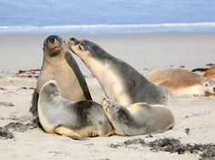 Seals at Seal Bay Kangaroo Island South Australia. Family of seals at Seal Bay K , Beautiful Creatures, Animals Beautiful, Cute Animals, All Gods Creatures, Sea Creatures, Kangaroo Island, Airlie Beach, Mundo Animal, Fauna
