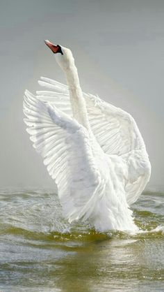 Swan spreading his wings: Resurrection by Lars Van de Goor Beautiful Swan, Beautiful Birds, Animals Beautiful, Swans, Animals And Pets, Cute Animals, Photo Chat, Kinds Of Birds, Tier Fotos