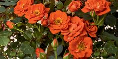 We offer the largest selection of bare root roses in the United States. Beautiful Flowers, Orange Roses, Shrub Roses, Rose, Flowers, Plants, Orange Plant, Rose Trees, Colorful Garden