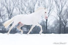 Damn! A true White horse! These are so rare. Most of the genetic combinations that can create them are partially or fully lethal! — Winter Horse. #snow #white