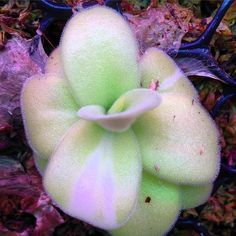 Variegated Pinguicula gigantea - Lentibilariaceae. This arose from a leaf pulling and has been consistent for 8 months. It will most likely grow out of it's variegation. #pinguicula #butterwort #variegated #carnivorousplants #csufgreenhouse #csufbiology #csuf This is the official account for the Department of Biological Science greenhouses. by csufgreenhouse