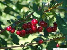 Prunus cerasus 'Nordia', Buskkörsbär. Litet träd. Härdig med riklig skörd. Självfertil. Zon IV