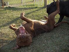 Choco is an adoptable Pit Bull Terrier Dog in Mullins, SC. We are rescue friendly, adoption friendly, and transport help is available. Please contact Karen at SaveAMarionPup@gmail.com for more informa...