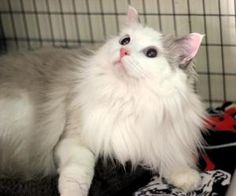 Puffer is an adoptable Ragdoll Cat in Smyrna, GA. Puffer is available for adoption Tuesday through Sunday and is in our adoption center if you would like to meet him. If you are interested in adopting...