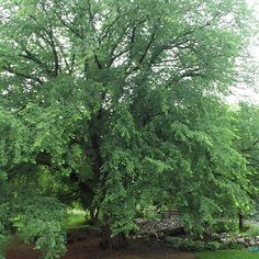 It's been a long time since anyone has written anything positive about elm trees, but finally there's a new, disease-resistant variety of this American icon. 'St. Croix' American elm has a spectacular, open spreading canopy that makes it an ideal choice for a shade or street-side tree. More importantly, 'St. Croix' is highly tolerant to Dutch elm disease, so you know it will be around for a long time. 'St Croix' elm has bright green leaves that turn yellow in the fall. Name: Ulmus Americana…