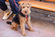 Welsh Terrier: smaller than Airedale terrier