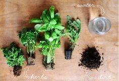 Plant a baby herb garden with your kids!