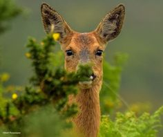 L'Assommoir Roe Deer, New Forest, Hampshire, England by Matt Roseveare