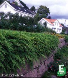 Svært herdig og effektiv bunndekker, som trives i sol og halvskygge. Sibirteppe. E-plant Norge SA