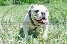 English Bulldog Harness UK for Tracking ➽ British Bulldog, French Bulldog, English Bulldogs, Dog Breeds, Animals, Animales, Animaux, French Bulldog Shedding, Bulldog Frances