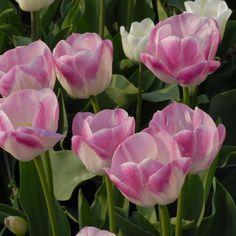 Triumph Tulip 'Weber'