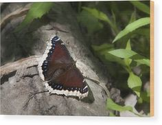 Mourning Cloak Butterfly Wood Print by Christina Rollo. All wood prints are professionally printed, packaged, and shipped within 3 - 4 business days and delivered ready-to-hang on your wall. Choose from multiple sizes and mounting options. Wood Plank Art, Selling Art, Cloak, Wood Print, Beautiful World, Fine Art America, Framed Art, Wildlife, Greeting Cards