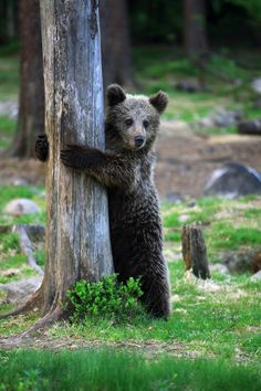 I love any sort of bear! The brown bear is totally cute Cute Funny Animals, Cute Baby Animals, Baby Pandas, Beautiful Creatures, Animals Beautiful, Bear Cubs, Panda Bears, Tiger Cubs, Tiger Tiger