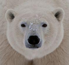 White bear head