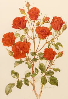 Vintage 1960s Concerto Rose Flower Print, Vintage Botanical Illustration (For You To Frame) Book Plate No. 47