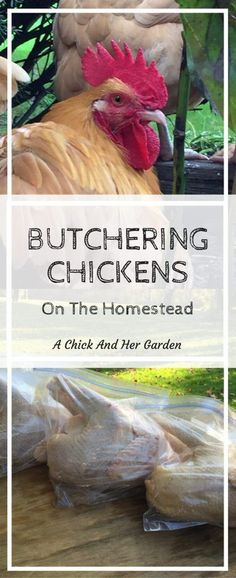 How do you butcher a chicken? Use this step by step tutorial to help you butcher your homestead chickens. Backyard Poultry, Chickens Backyard, Backyard Birds, Keeping Chickens, Raising Chickens, Permaculture, Meat Chickens, Hobby Farms, Small Farm
