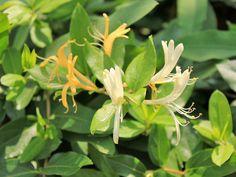 Madressilva - Minhas Plantas
