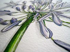 agapanthus #botanical #watercolour #illustration #art
