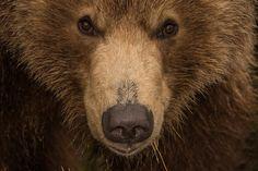 Kamchatka Brown Bears by Sergey Gorshkov