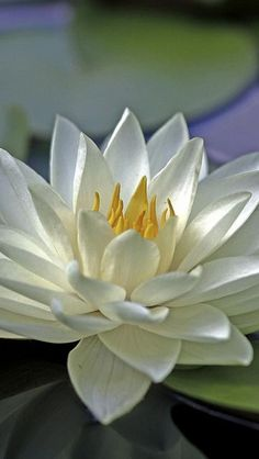 ^Water lily Beautiful gorgeous pretty flowers