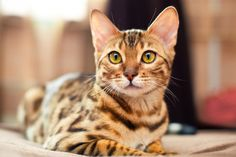 The Bengal is a domestic cat breed developed to look like exotic jungle cats such as leopards,. Gato Bengali, Boy Cat Names, Bengal Cat Breeders, Gato Grande, Sweet Dogs, Bengal Kitten, Sphynx Cat, Domestic Cat, Cat Collars