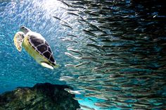 Turtle swims with sardines: photo by lee jin-man