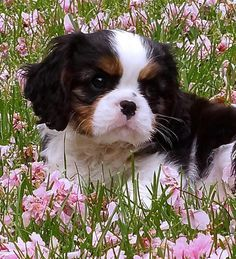 Black, brown and white Cavalier King Charles Spaniel puppy