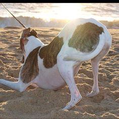 Sassy Greyhound in the sand.  Beautiful picture Darlene!!!  She is loved by the Riden family.