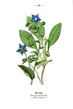 Botanical-Borage-Wayside-and-Woodland-1895-Plate-80, romancingthebee.com, lists top bee - loving plants, recounts telling of the bees & offers Whittier ' s poem about the custom.