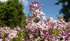 Bilde av DVERGSYRIN 'PALIBIN' Plants, Garden Plants, Planters, Syringa, Garden