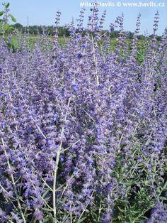 "Perovskia ""Blue Spire"" Russian Sage   from  http://www.havlis.cz/karta_en.php?kytkaid=997#"