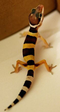 Little Leopard Gecko