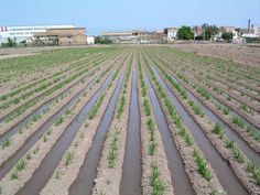 Riego / Reg /The tigernut of Valencia is cultivated in sixteen Valencian towns in the L'Horta Nord area, where a few concrete climatic requirements are assembled and turns it into the only zone of Spain where so singular tuber is cultivated.